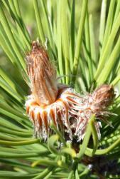 Bourgeon de pin sylvestre