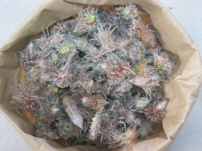 Bourgeons de pin